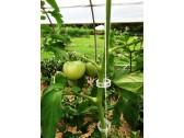 Pomidoro segtukas